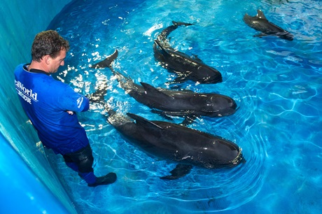Pilot Whales Find A New Home In The Shamu Stadium