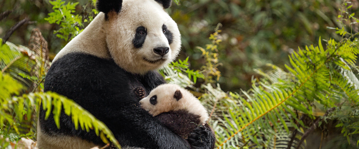 Disneynature's BORN IN CHINA on Digital and Blu-ray August 29th